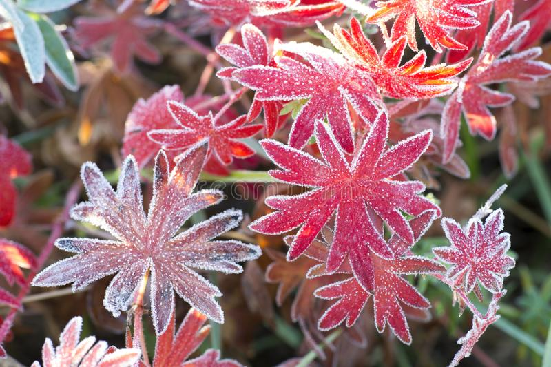 Red leaves of the plant Aconite with various shades, covered with frost. Background royalty free stock images