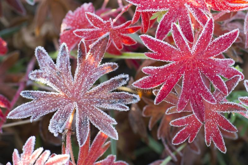 Red leaves of the plant Aconite with various shades, covered with frost. Background stock photos