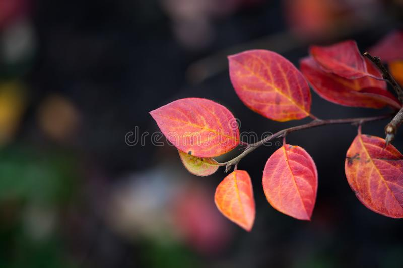 Red leaves shrub on dark blurred background. Autumn season backdrop. Shallow depth of field, soft focus. royalty free stock images
