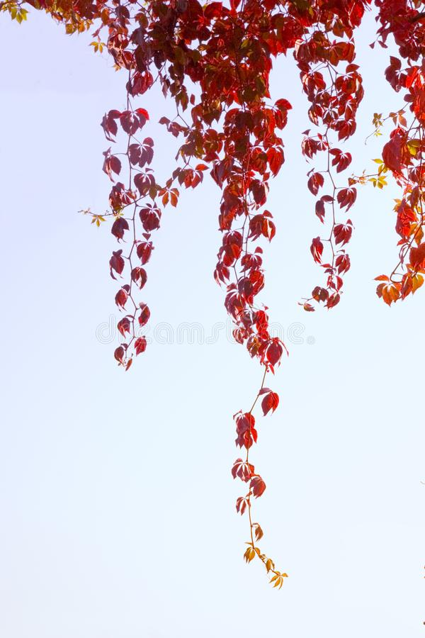 Red leaves on sky royalty free stock photos