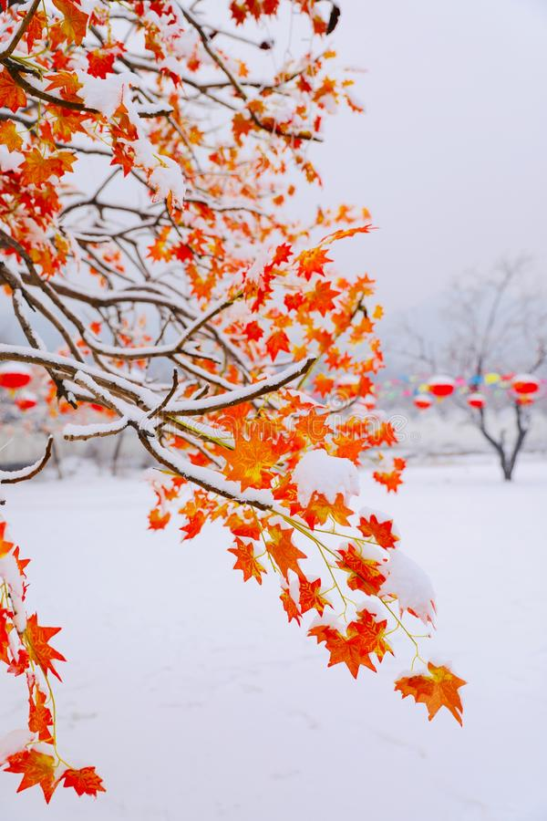 Red leaves in the snow. At Spring Festival stock image