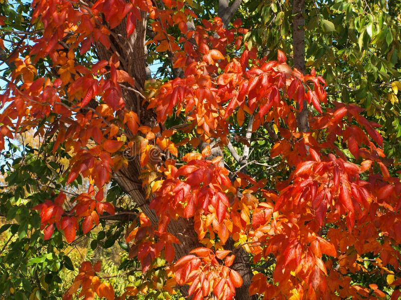 Red Leaves Stand Out In Bunches. Another noticeable feat this fall is the large patches of color that seem to just explode with such vibrant colors over years royalty free stock photography