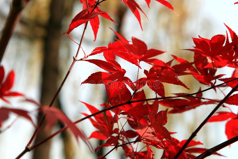 Red leaves on the streets of Beijing in autumn stock photography