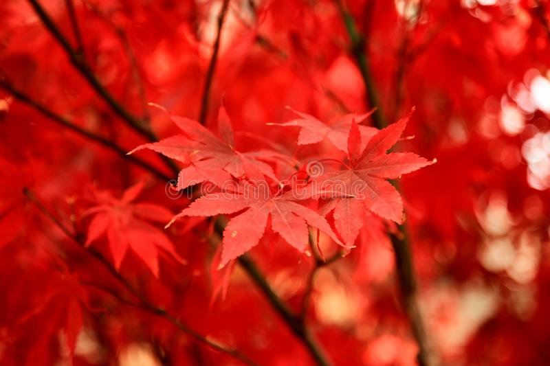 Red leaves on the streets of Beijing in autumn stock photos