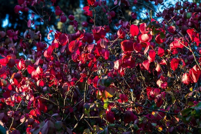 Autumn red leaves background under sunlight royalty free stock photography