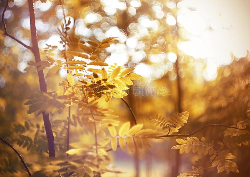 Red leaves on  branches of rowan during the golden warm autumn royalty free stock photography