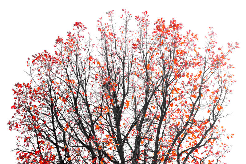 Red Leaves on Tree Branches. Colorful Red Leaves on the branches of a Fall tree on white background royalty free stock image