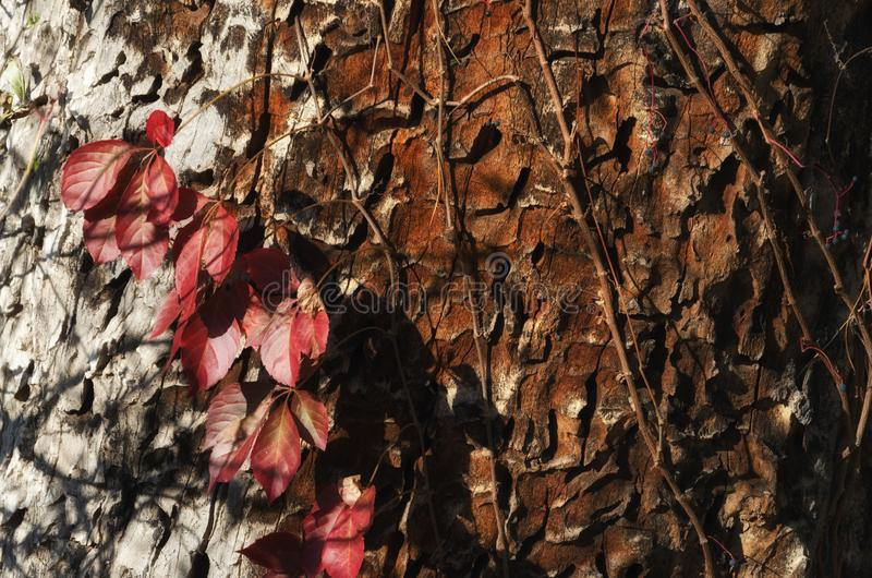 Red leaves on a tree trunk in autumn. Fall season.  stock image