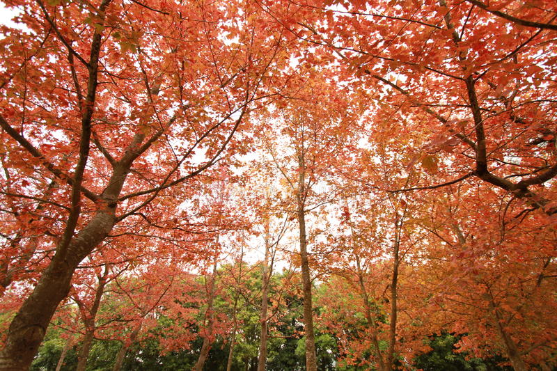 Download Red Leaves and Trees stock photo. Image of taken, year - 48541262
