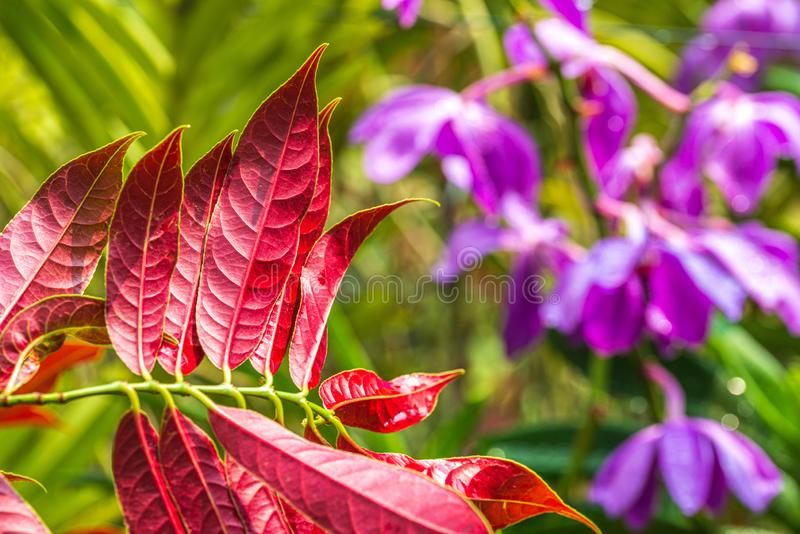 Red leaves under hot sunny day. Purple orchid flowers in blurred bokeh background. Red leaves under hot sunny day. Purple orchid flowers in blurred background stock photography
