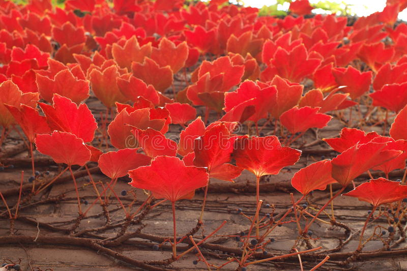Red leaves on the wall stock photo