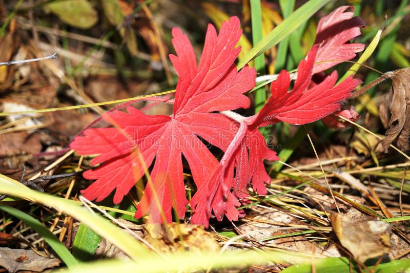 red leaves in yellowed grass stock photo