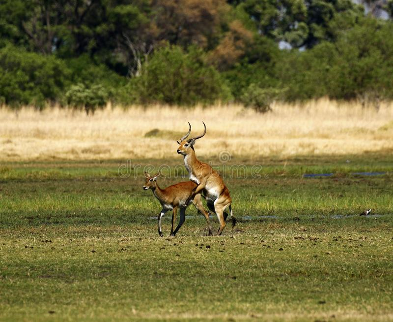 Red Lechwe busy mating reproducing on the African Plains stock image
