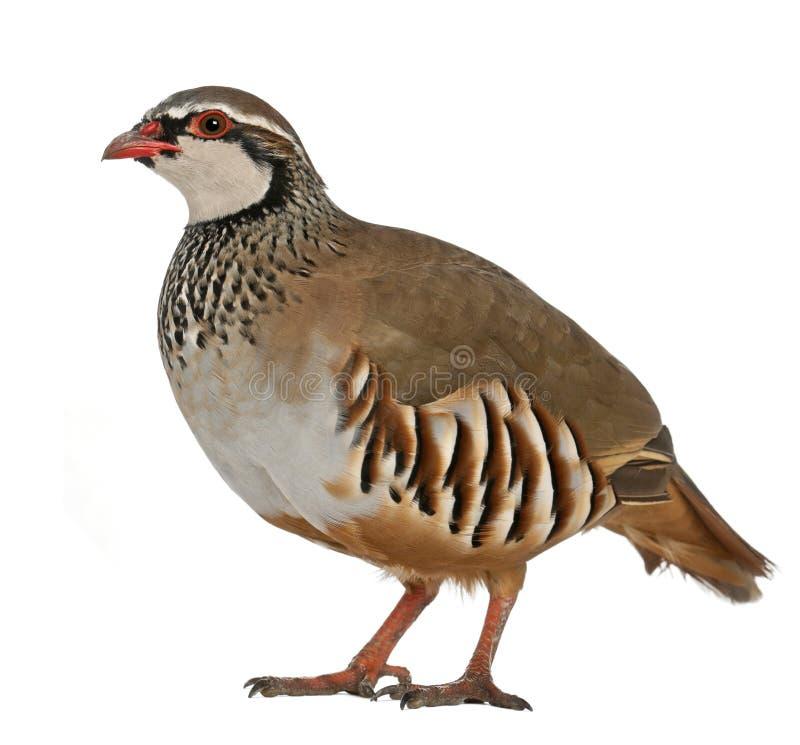 Red-legged鹧或法国鹧,Alectoris rufa,在野鸡家庭的一群猎鸟画象  免版税图库摄影