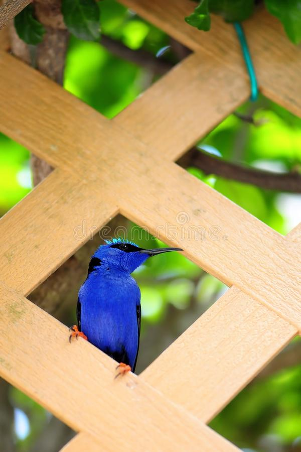 Red-legged Honeycreeper Stock Photography