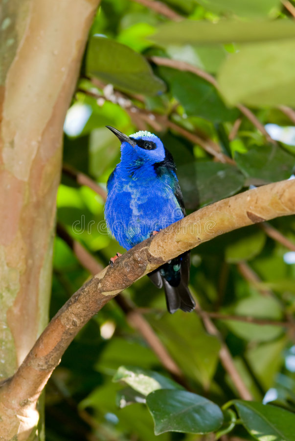 Download Red-legged Honeycreeper (Cyanerpes Cyaneus) Royalty Free Stock Photography - Image: 8029027
