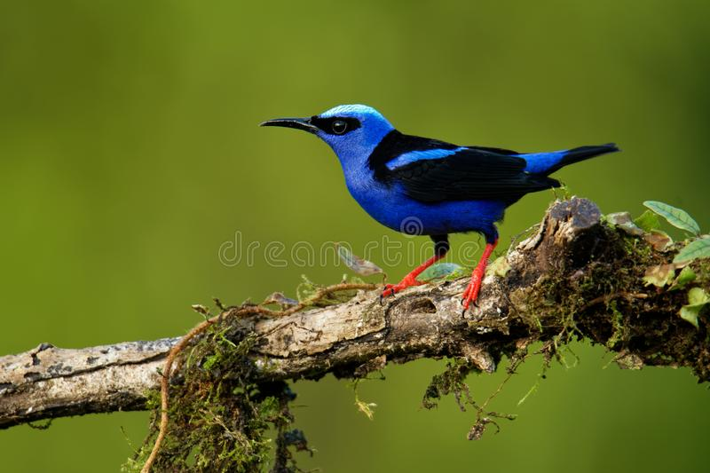 Red-legged Honeycreeper - Cyanerpes cyaneus  small songbird species in the tanager family Thraupidae,in the tropical New World. From southern Mexico south to stock images