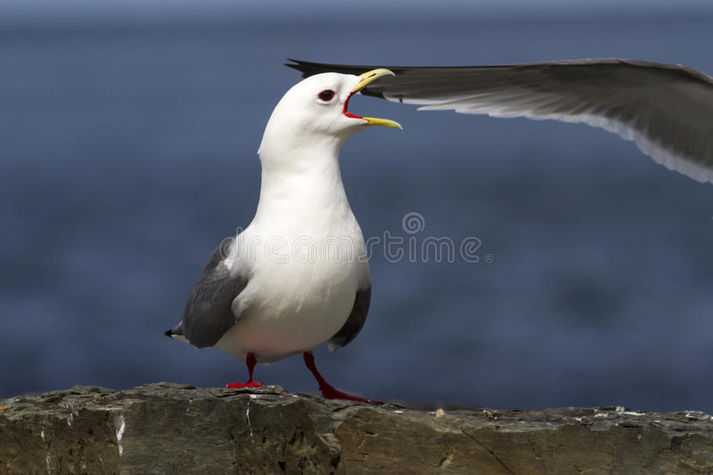 Red-legged kittiwake which stands on the edge of a cliff and royalty free stock image
