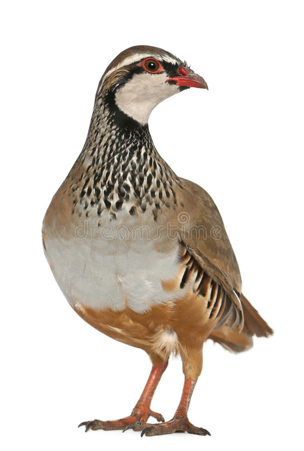 Red-legged Partridge. Or French Partridge, Alectoris rufa, a game bird in the pheasant family, standing in front of white background stock photos