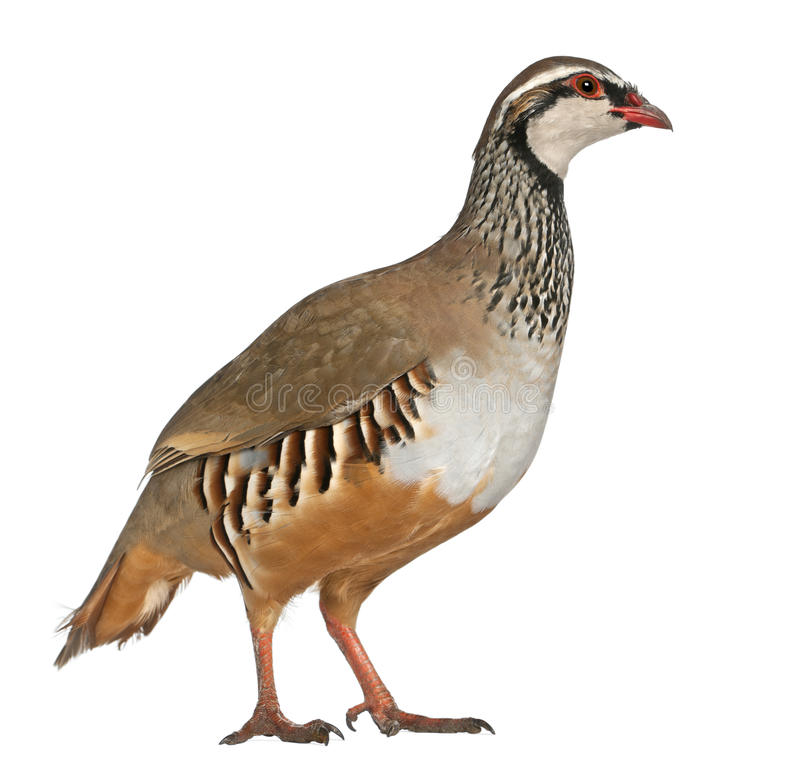 Red-legged Partridge. Or French Partridge, Alectoris rufa, a game bird in the pheasant family, standing in front of white background stock image