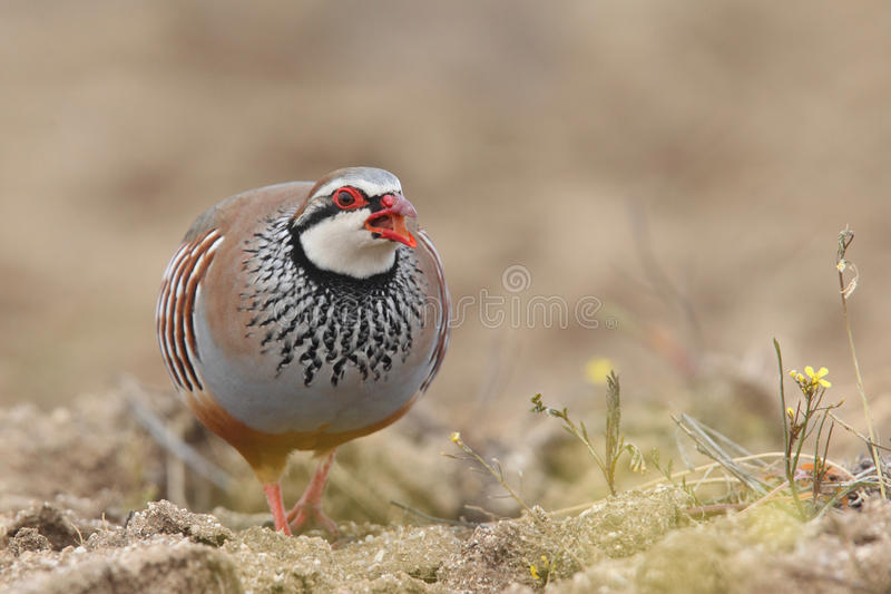 Red-legged partridge royalty free stock photos