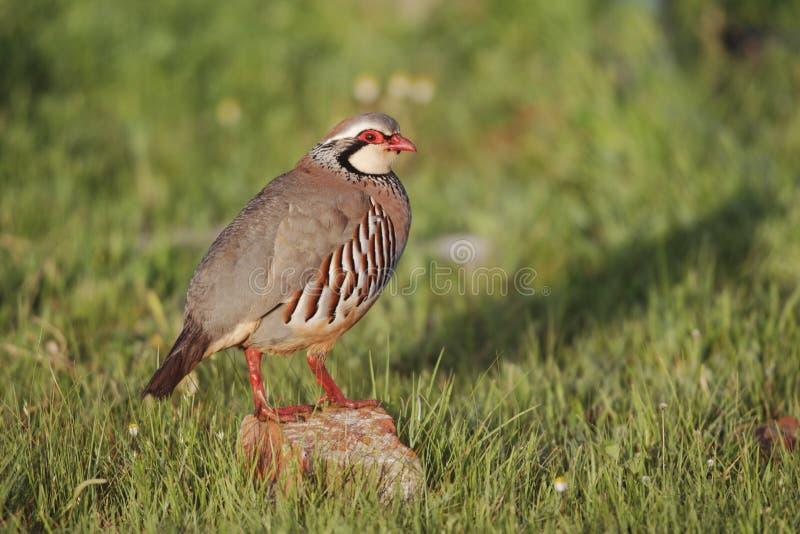 Download Red-legged Partridge, Alectoris Rufa Stock Photo - Image: 31963498