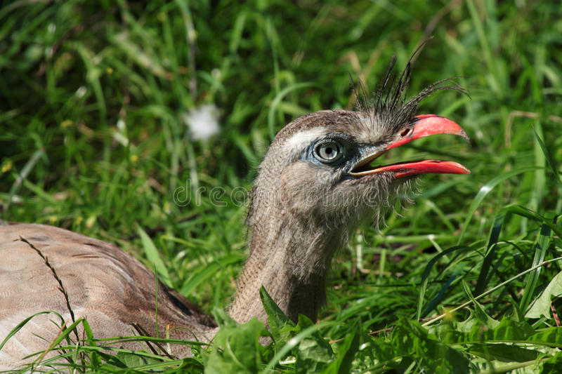 Download Red-Legged Seriema Royalty Free Stock Images - Image: 15601459