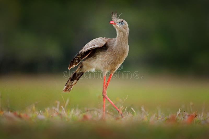 Red-legged Seriema, Cariama cristata, Pantanal, Brazil. Typical bird from Brazil nature. Bird in the grass meadow, long red leg. T. Raveling in South America stock images
