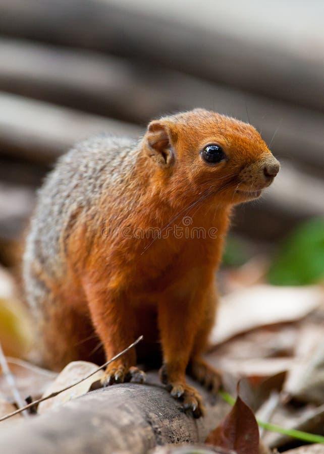 Free Red-legged Squirrel Stock Photo - 25091020