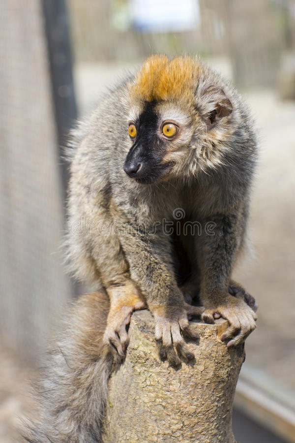Red lemur (Eulemur rufus). Red or rufous brown lemur (Eulemur rufus) is sitting on a tree stock images