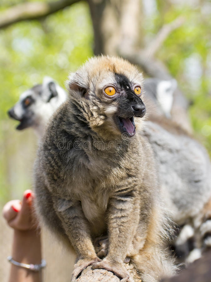 Red lemur (Eulemur rufus). Red or rufous brown lemur (Eulemur rufus) on a tree stock image