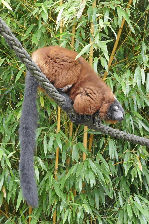 Red Lemur, Varis, & x28;Varecia rubra& x29; sits on a rope in the bamboo shrubbery royalty free stock images