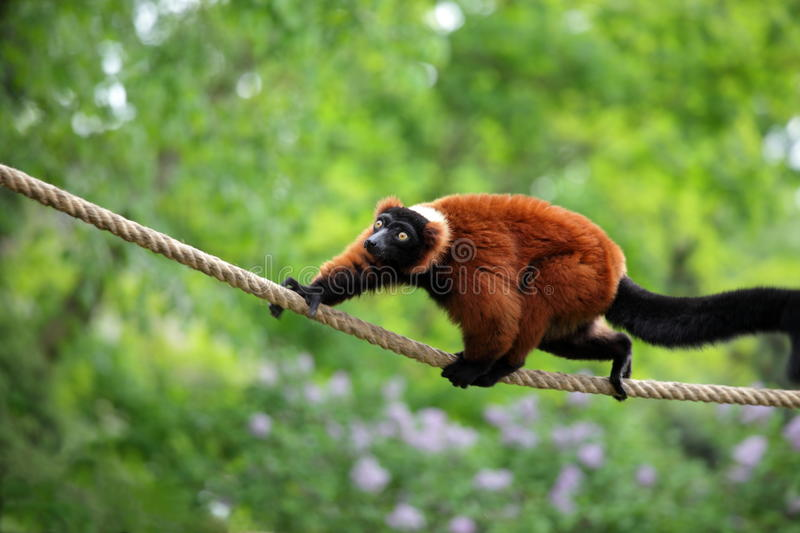 Red lemur wari in the jungle royalty free stock image