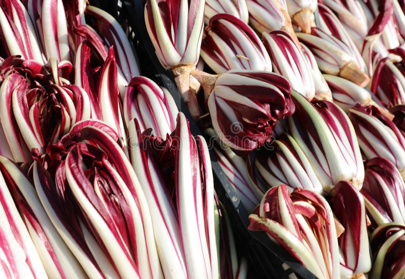 red lettuce or red chicory called Radicchio Tarddivo in Italian stock photography