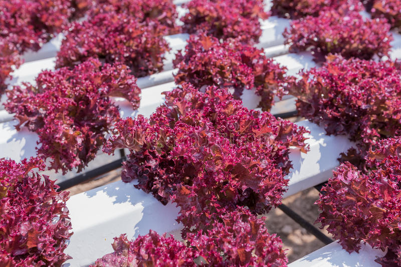Red lettuce cultivation on hydroponic stock photo