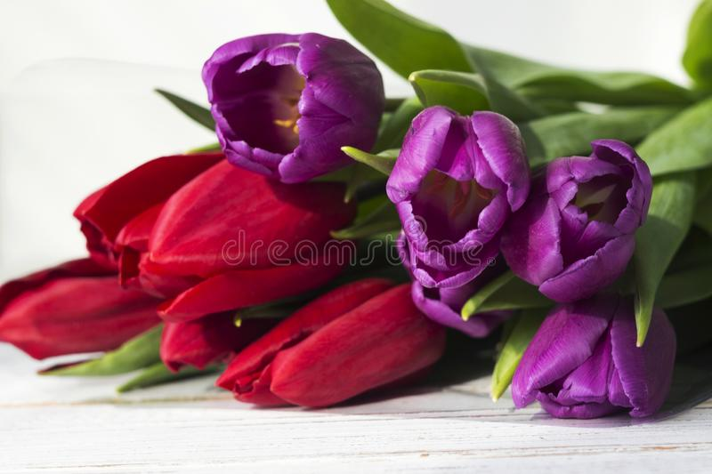 Red and lilac tulips on white wooden background, beautiful spring flowers royalty free stock image