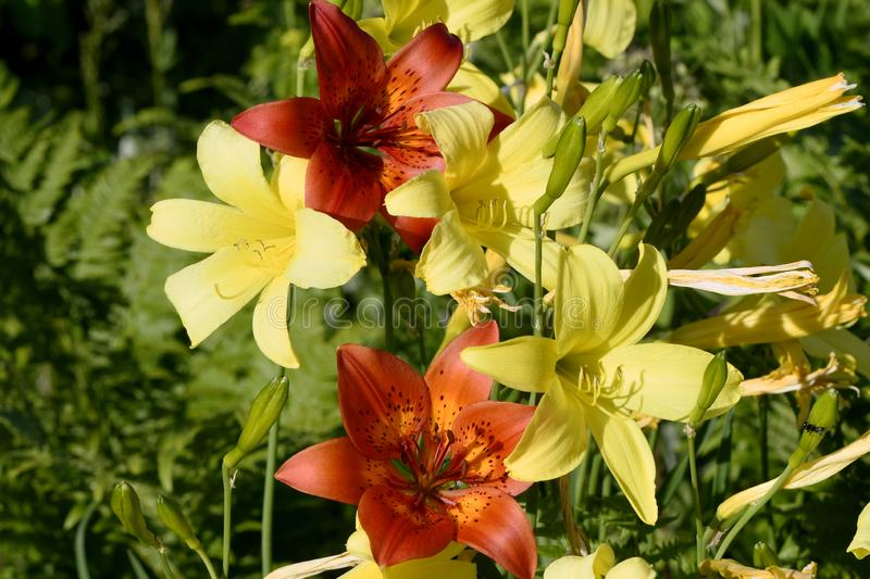 Red lilies and yellow daylilies royalty free stock image