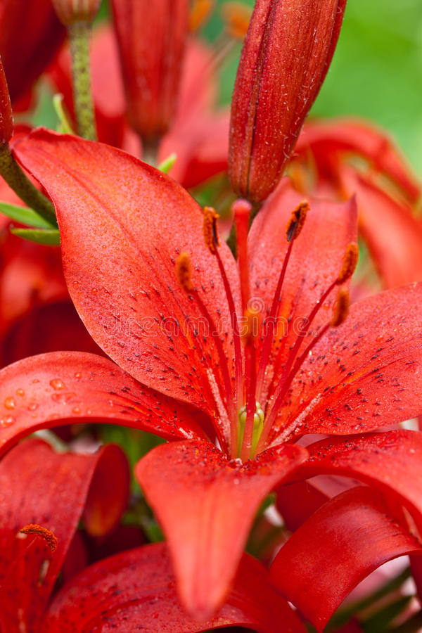 Red Lilly Flowers Stock Photo