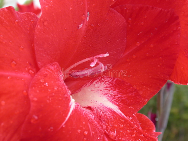 Red lily royalty free stock photography