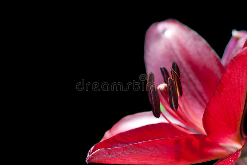 Red lily on a black background stock images