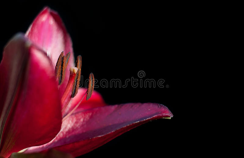 Red lily on a black background royalty free stock images