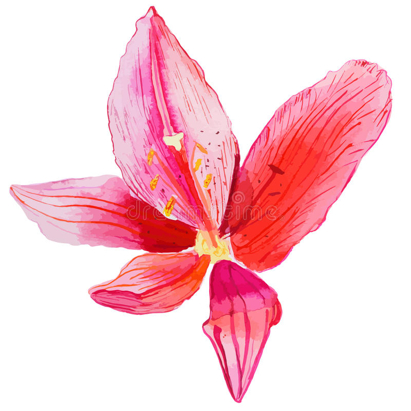 Red lily flower in the sunshine - vector watercolor painting royalty free stock images