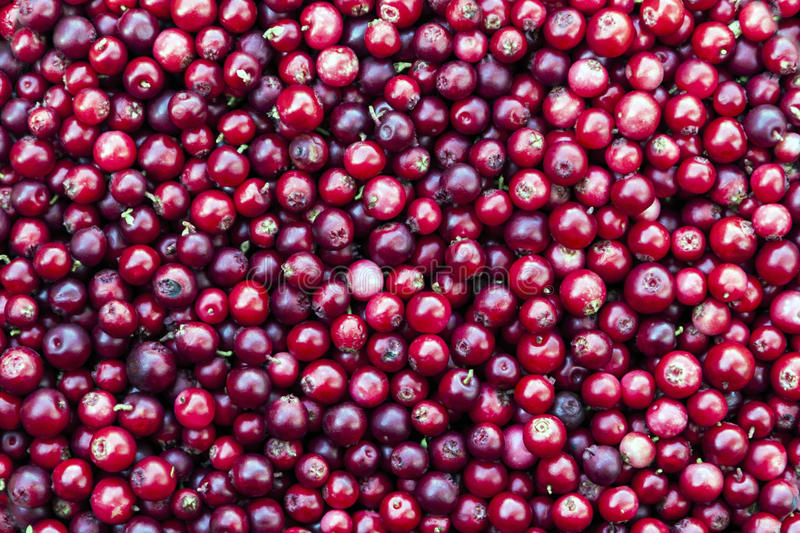 Red lingonberry background. Horizontally oriented picture with red lingonberry background royalty free stock photography