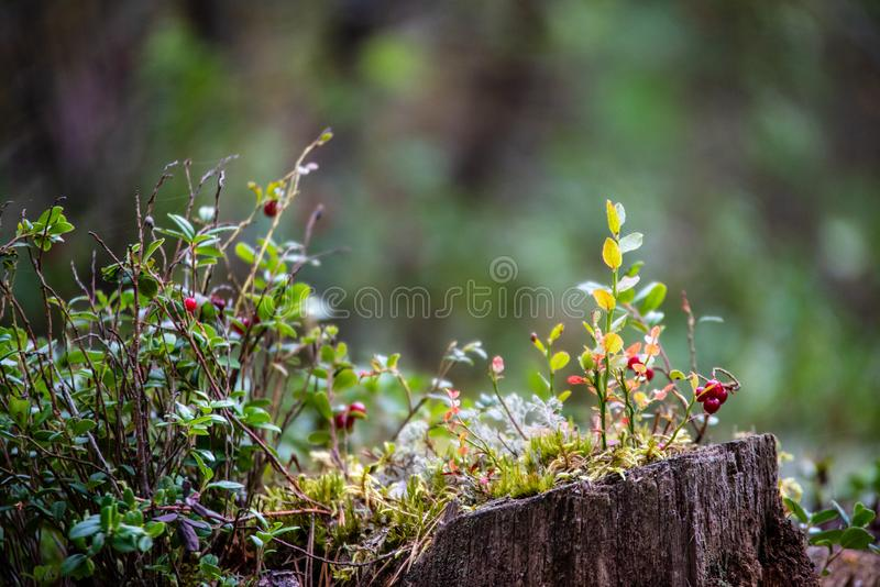 Red lingonberry cranberries growing in moss in forest. Autumn, blur background royalty free stock images