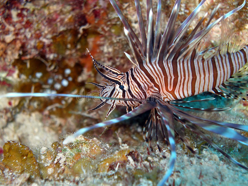 Red Lion Fish stock images