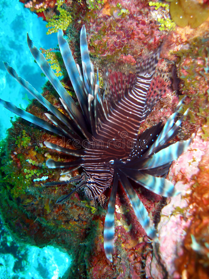 Download Red Lion Fish stock image. Image of colorful, marine - 11406293