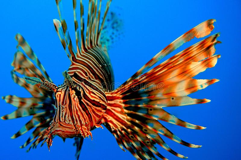 Red Lion fish royalty free stock image