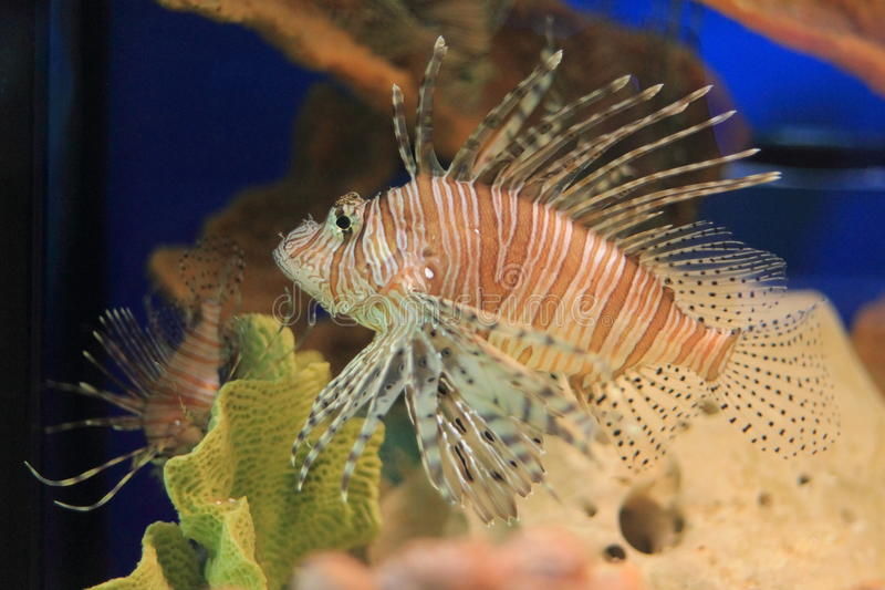 Download Red lionfish stock image. Image of lionfish, western - 22120397