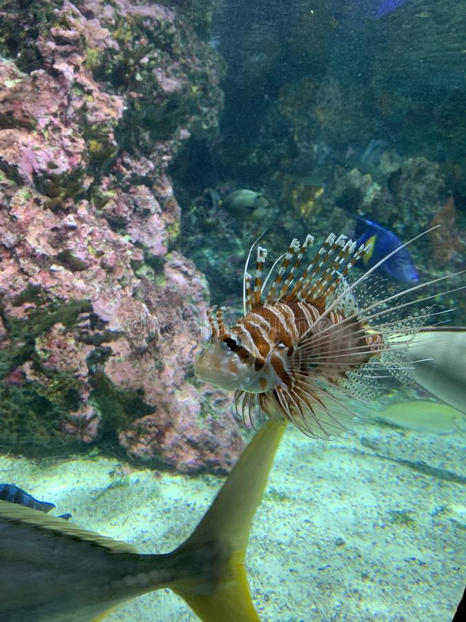Red lionfish one of the dangerous coral reef fish. Beautiful and dangerous animals. in aquarium stock photography