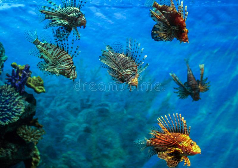 Red lionfish - one of the dangerous coral reef fish. stock photography